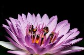 picture of water bug  - Bee on water lily close up shot - JPG