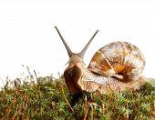 stock photo of mollusca  - Macro of garden snail  - JPG