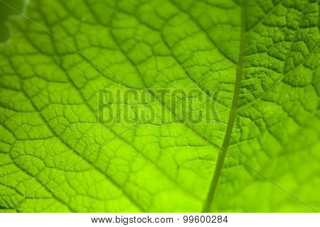 Natural Green Leaf Texture.