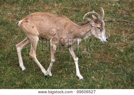Transcaspian urial (Ovis orientalis arkal). Wild life animal.