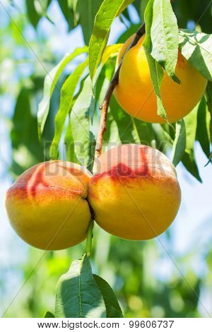Sweet Peach Fruit Growing On A Peach Tree Branch.