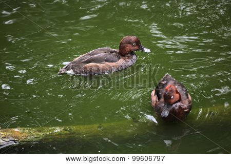 Ferruginous duck (Aythya nyroca), also known as the ferruginous pochard. Wild life animal.