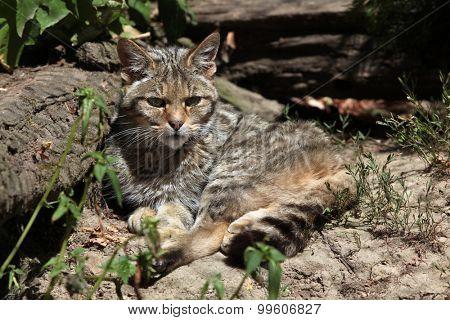 European wildcat (Felis silvestris silvestris). Wild life animal.