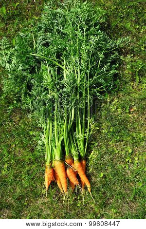 Ripe and fresh organic carrots in grass