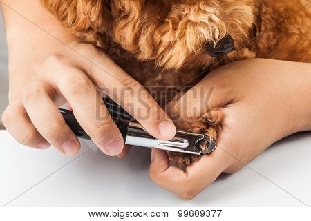 Dog Nails Being Cut And Trimmed During Grooming