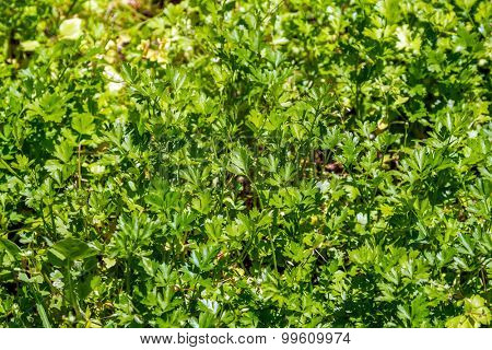 Fresh parsley leaves growing in sunlight.