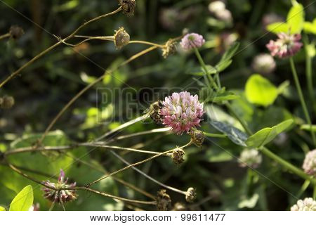 Honey Bees Pollinating Clover