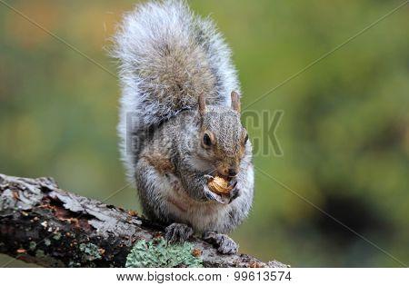 Fall Squirrel