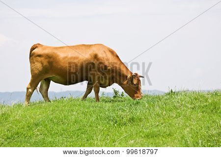Shorthorn cattle feeding grass