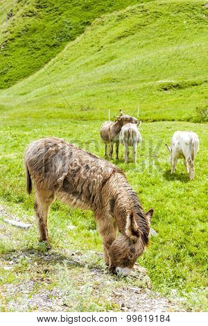 donkeys on meadow, Piedmont, Italy