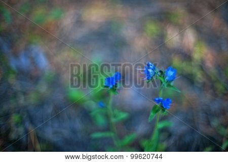 Blue forest flower, art photo with shallow depth of field and bokeh