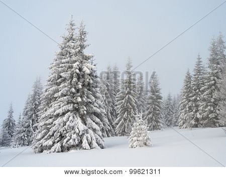 Winter in the mountain. Fir forest under snow. Cloudy day. Carpathians, Ukraine, Europe. Christmas view