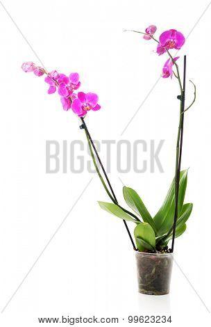 Purple orchid flower in a pot.