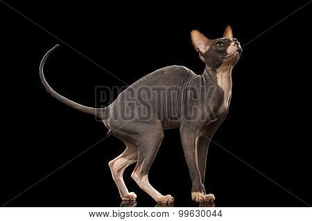 Sphynx Cat Funny Standing And Looking Up Isolated On Black