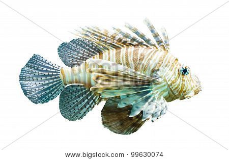Pterois Volitans, Lionfish - Isolated On White