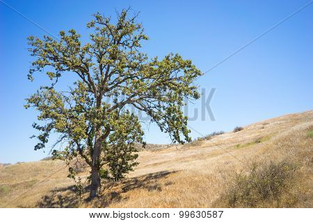 Dry Oak In California Drought