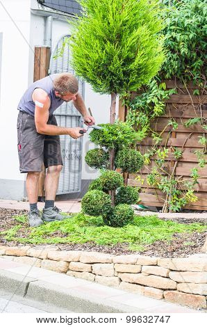A Gardener Cuts The Topiary
