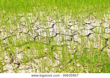 drought of rice field