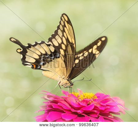 Dreamy image of a Giant Swallowtail butterfly feeding on a pink Zinnia flower
