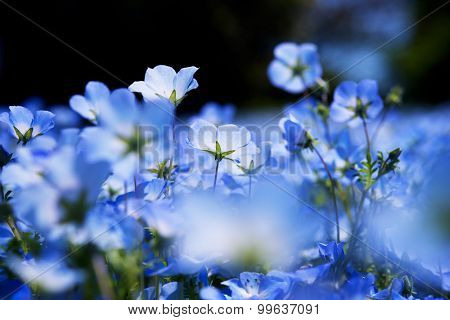 Nemophila, or baby blue eyes (Nemophila menziesii, California bluebell), in light and shadow. Intentionaly shot with flower bokeh in foreground. Shallow depth of field.