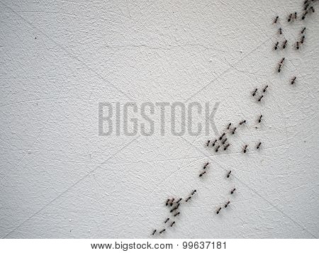The Chain Of Ants Close-up