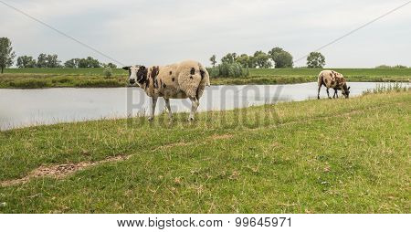 Two Brown Spotted Sheep On A Dike