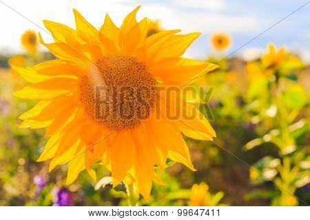 Field Sunflowers Summer Closeup Beautiful Yellow Flower Sun