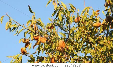 Ripe Almonds