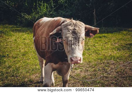 Brown bull on the green field