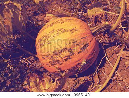 pumpkin on a farm field retro
