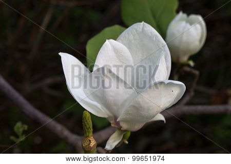 magnolia close up