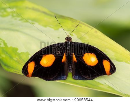 Black And Orange Spotted Tropical Butterfly Showing Full Wingspan