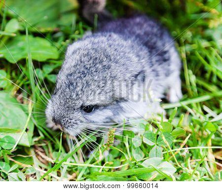 A Little Grey Baby Chinchilla