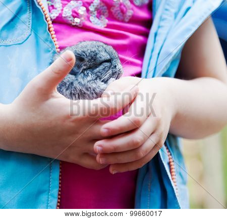 Little Chinchilla In The Hands Of A Child