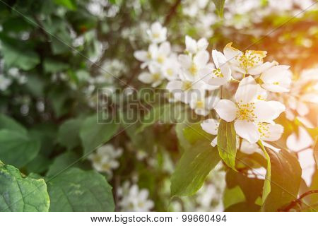 blossomung cherry tree with green leaves and white blossom
