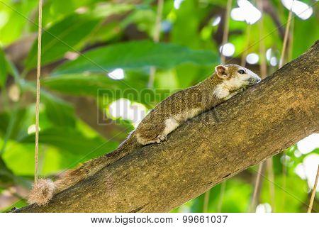 Asian Tree Squirrel