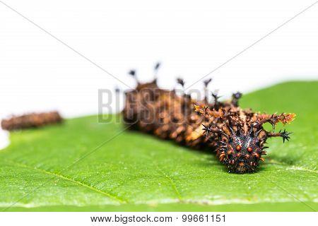 Common Commander Caterpillars