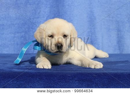 Little Labrador Puppy On A Blue Background