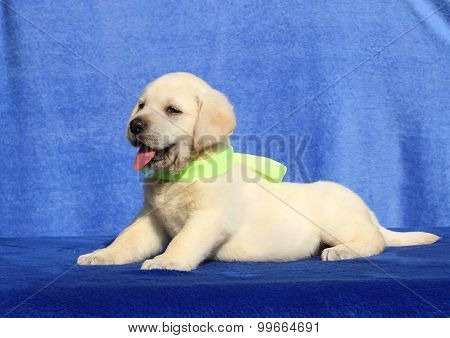 Cute Yellow Labrador Puppy On A Blue Background