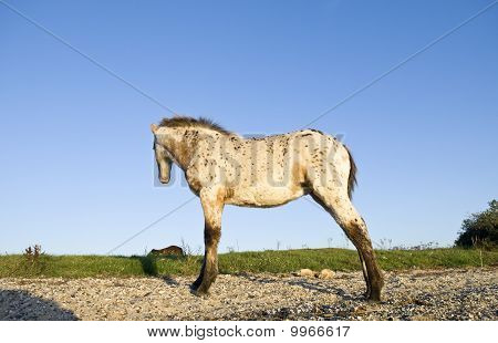 Beautiful appaloosa foal standing in a field.
