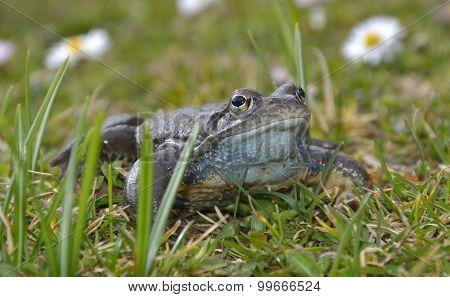 Agile Frog (rana Dalmatina) In Grass
