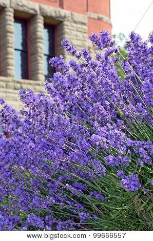 Purple Lavender Garden