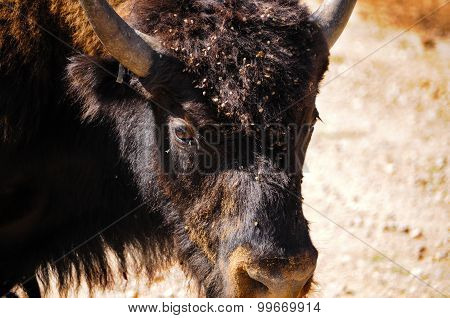 Closeup Of A Buffalo