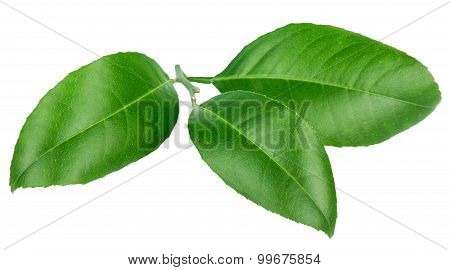 Lemon Leaves Isolated On A White Background