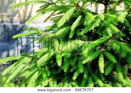 Beautiful green fir branches outdoors