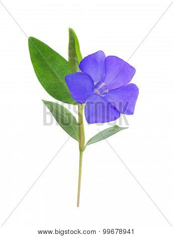 Periwinkle, Vinca Minor Isolated On White