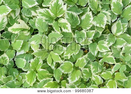 Variegated Leaves As Background
