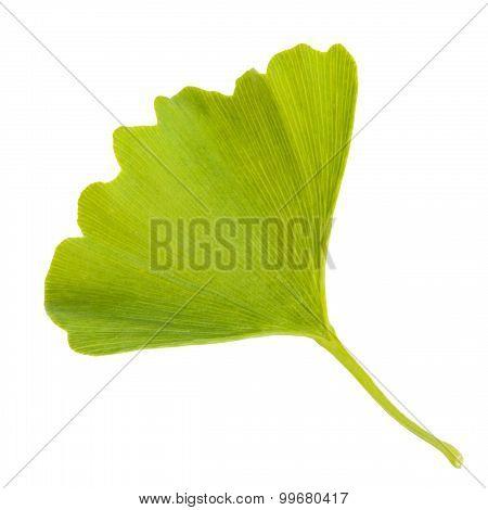 Ginkgo Biloba Leaf Isolated On White Background