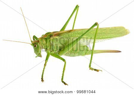 Grasshopper Isolated - Tettigonia Viridissima
