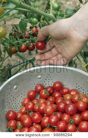 Picking Garden Cherry Tomatoes